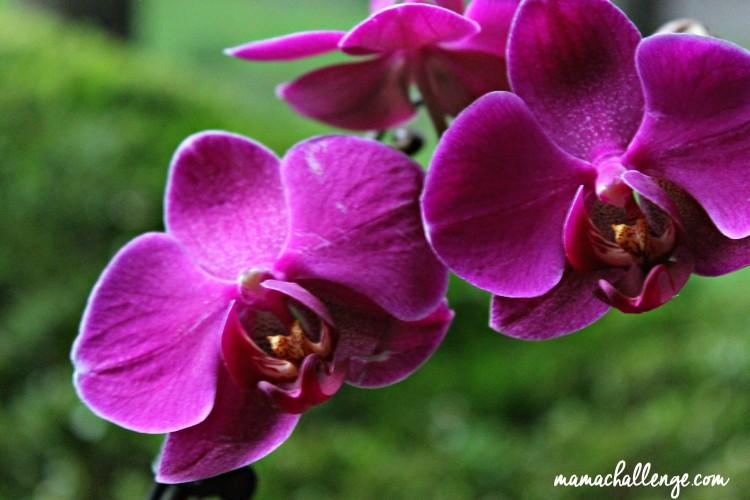 Orchid-Euphoria-MamaChallenge