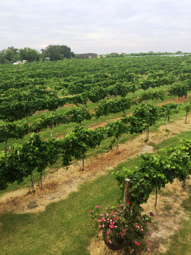MessinaHof Vines