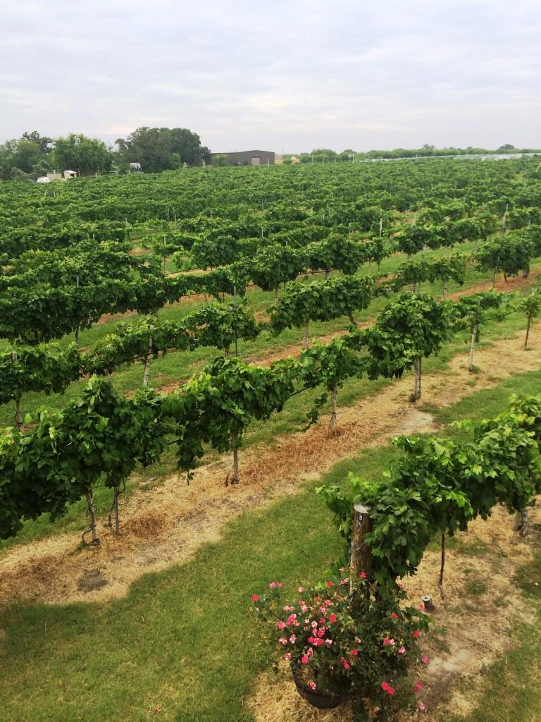 MessinaHof Vines