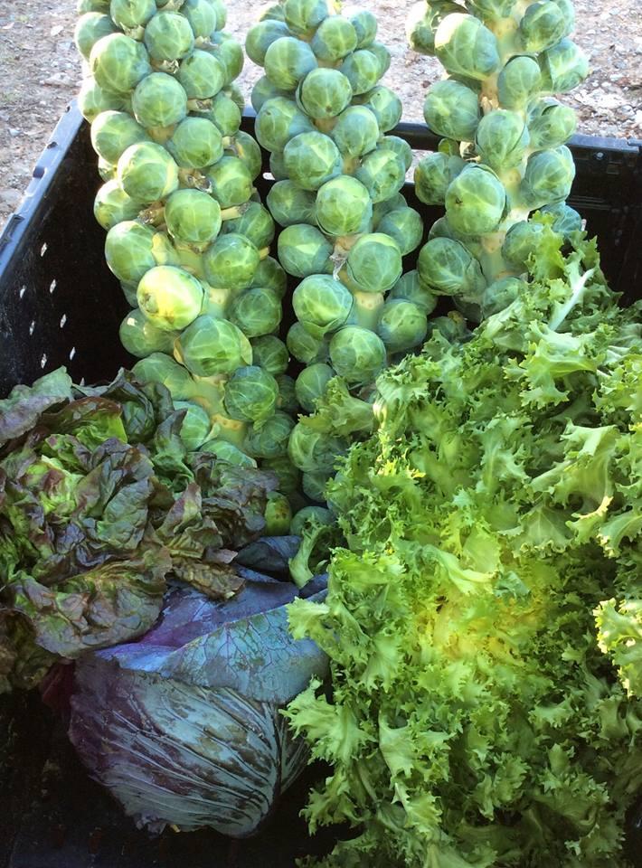 Fresh-Veggies-Cold-Springs-CSA
