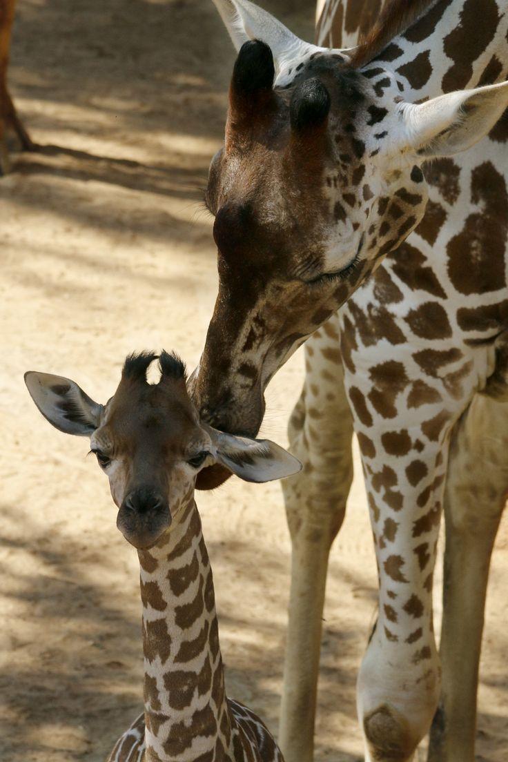 Dallas-Zoo-Giraffe